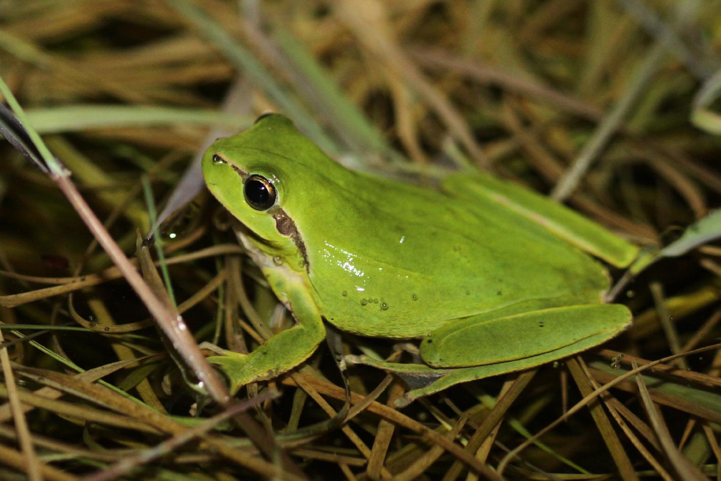 https://cdnfiles1.biolovision.net/www.nature79.org/userfiles/AMPHIREPT/Rainettemridionale-MaraisdelaPerrocheOlron-25.03.2010-F.Dor.jpg