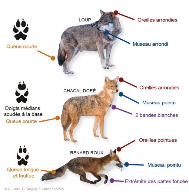 https://cdnfiles1.biolovision.net/www.nature79.org/userfiles/DOCPOURLESNEWS/chacal-loup-renard-ASPAS.jpg