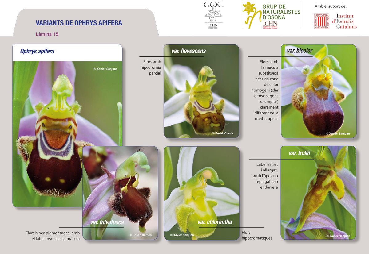 https://cdnfiles1.biolovision.net/www.ornitho.cat/userfiles/Orquis/lamina152.jpg