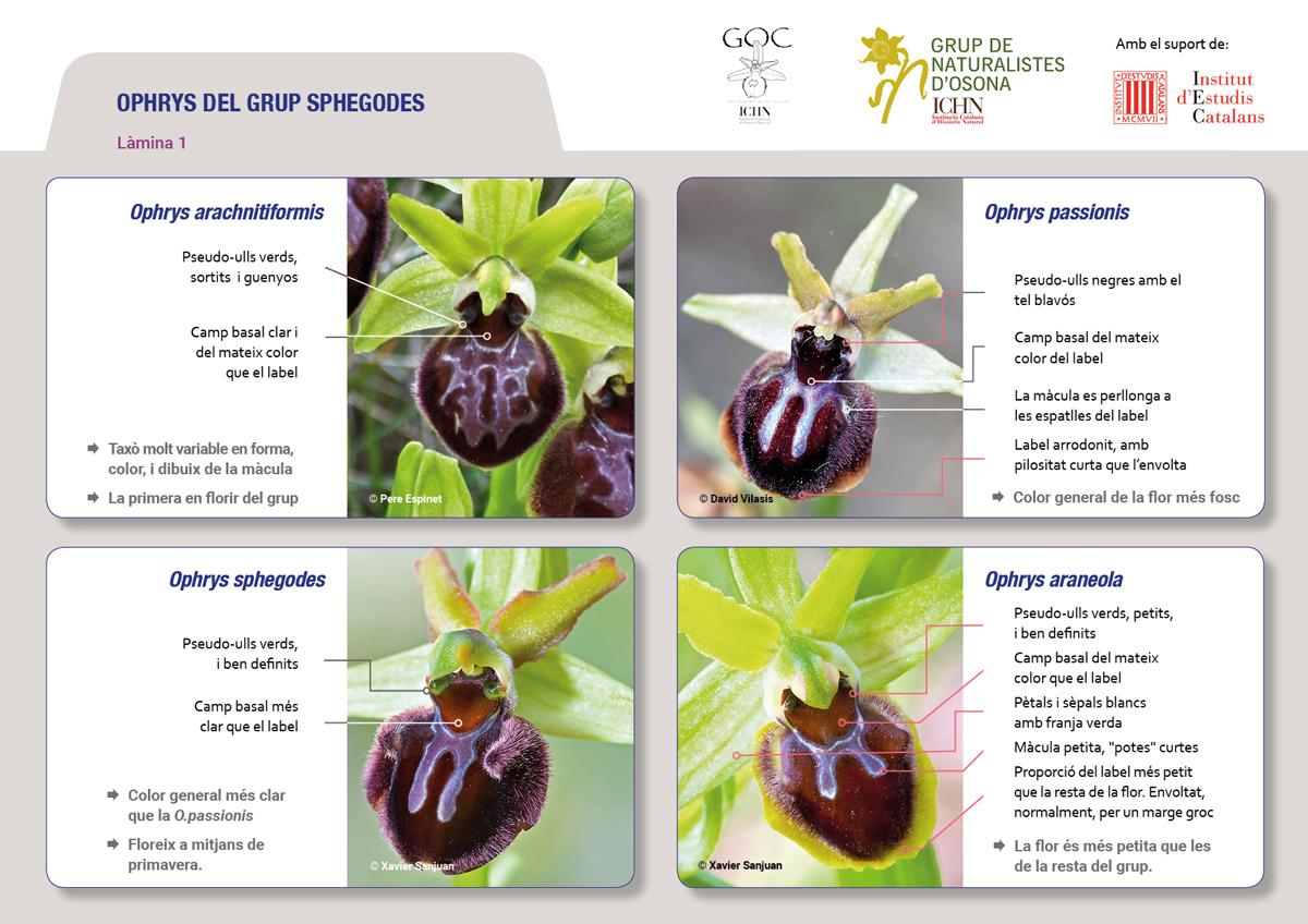 https://cdnfiles1.biolovision.net/www.ornitho.cat/userfiles/Orquis/lamines9juliol191.jpg