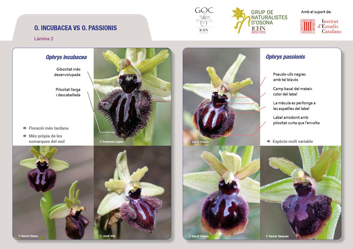 https://cdnfiles1.biolovision.net/www.ornitho.cat/userfiles/Orquis/lamines9juliol192.jpg