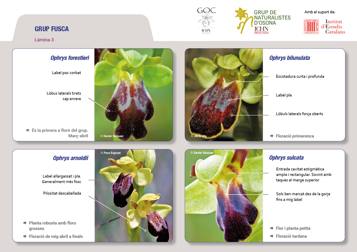 https://cdnfiles1.biolovision.net/www.ornitho.cat/userfiles/Orquis/lamines9juliol193.jpg