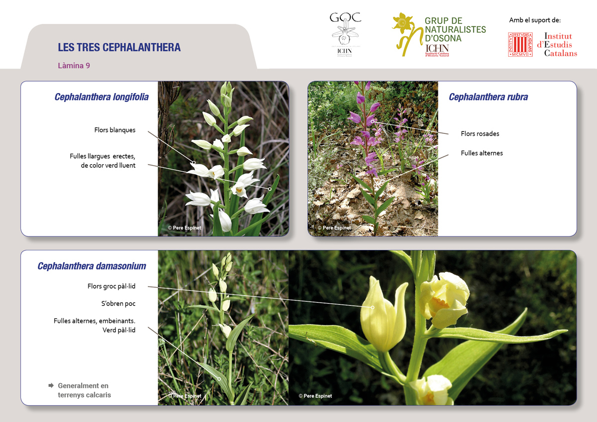https://cdnfiles1.biolovision.net/www.ornitho.cat/userfiles/Orquis/lamines9juliol199.jpg