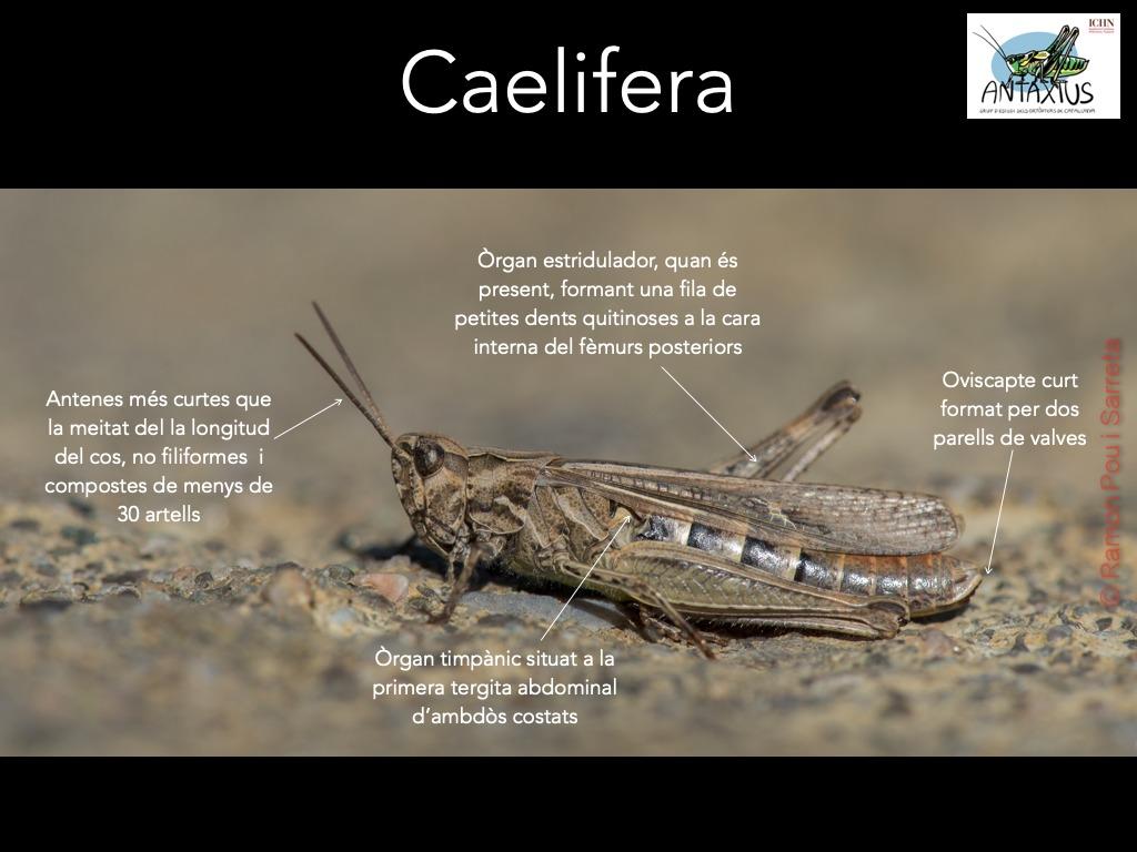 https://cdnfiles1.biolovision.net/www.ornitho.cat/userfiles/Ortopters/1Caelifera_1.jpg