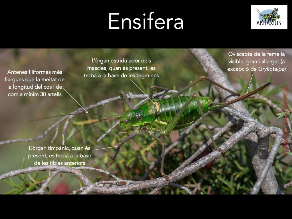 https://cdnfiles1.biolovision.net/www.ornitho.cat/userfiles/Ortopters/1Ensifera1.jpg