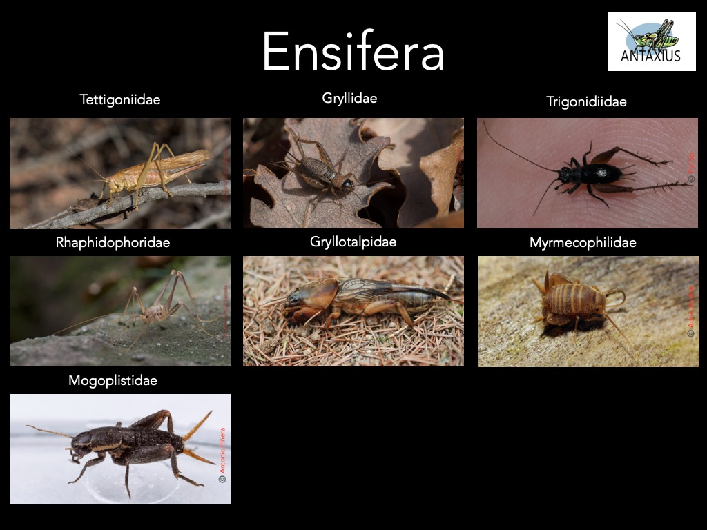 https://cdnfiles1.biolovision.net/www.ornitho.cat/userfiles/Ortopters/1Ensifera2.jpg