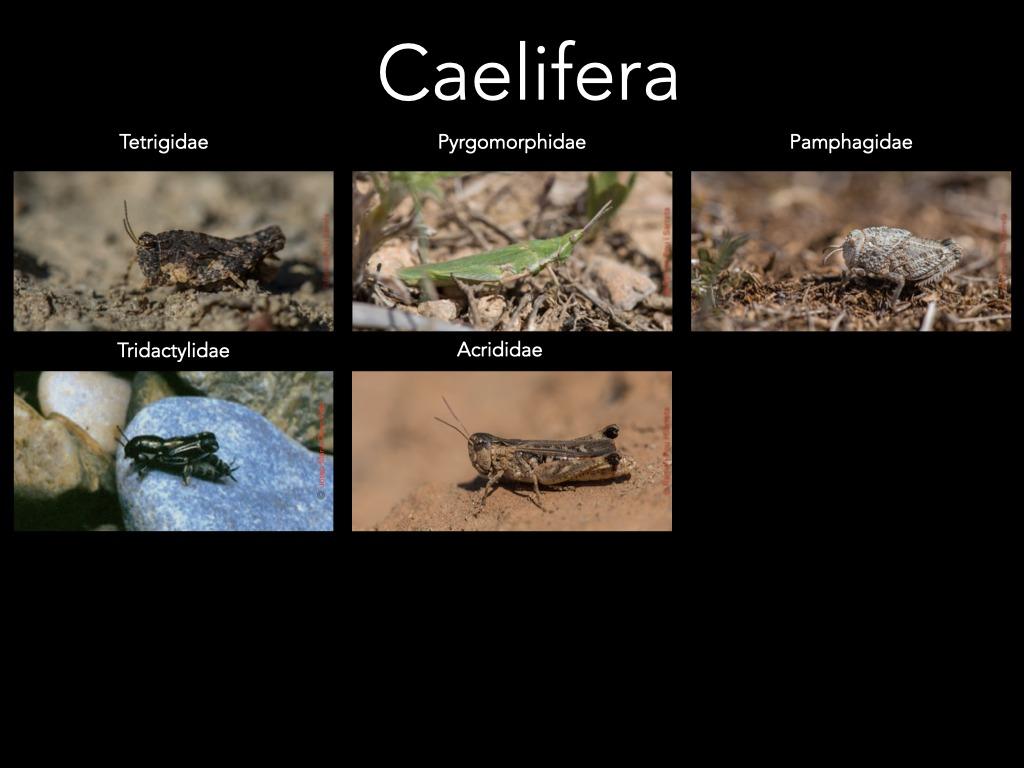 https://cdnfiles1.biolovision.net/www.ornitho.cat/userfiles/Ortopters/2Caelifera.jpg