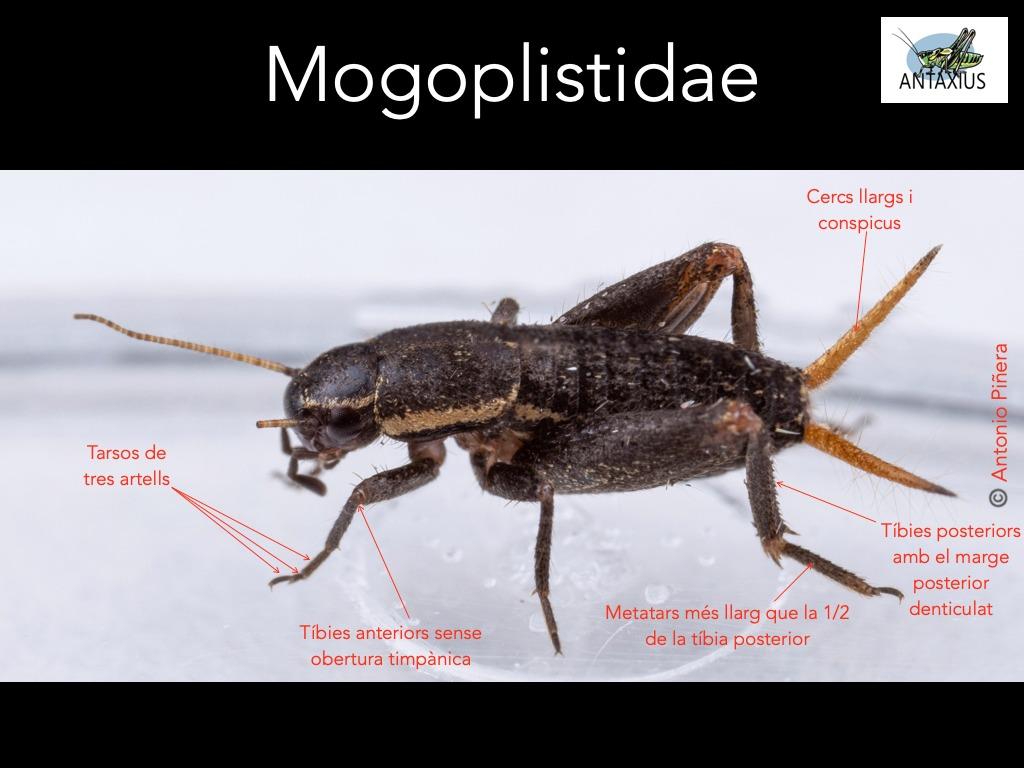 https://cdnfiles1.biolovision.net/www.ornitho.cat/userfiles/Ortopters/2Mogoplistidae.jpg