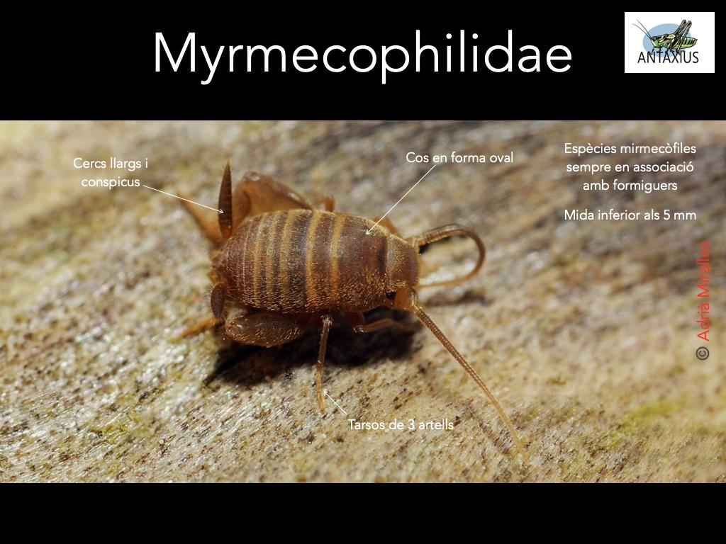 https://cdnfiles1.biolovision.net/www.ornitho.cat/userfiles/Ortopters/2Myrmecophilidae.jpg