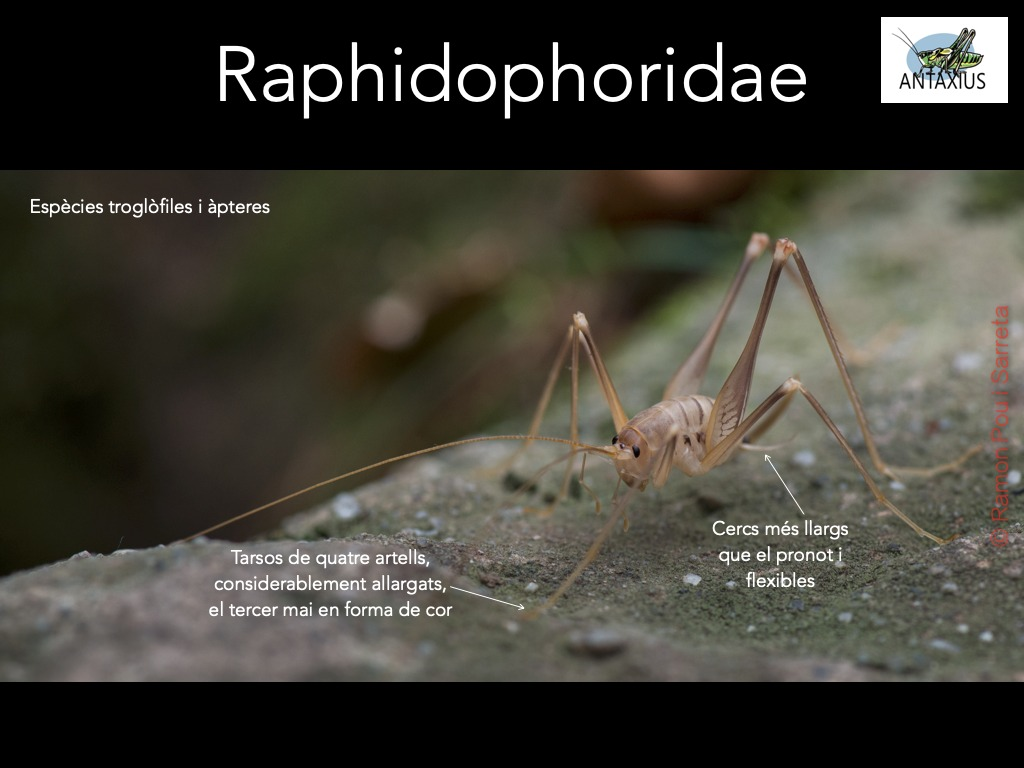 https://cdnfiles1.biolovision.net/www.ornitho.cat/userfiles/Ortopters/2Raphidophoridae.jpg