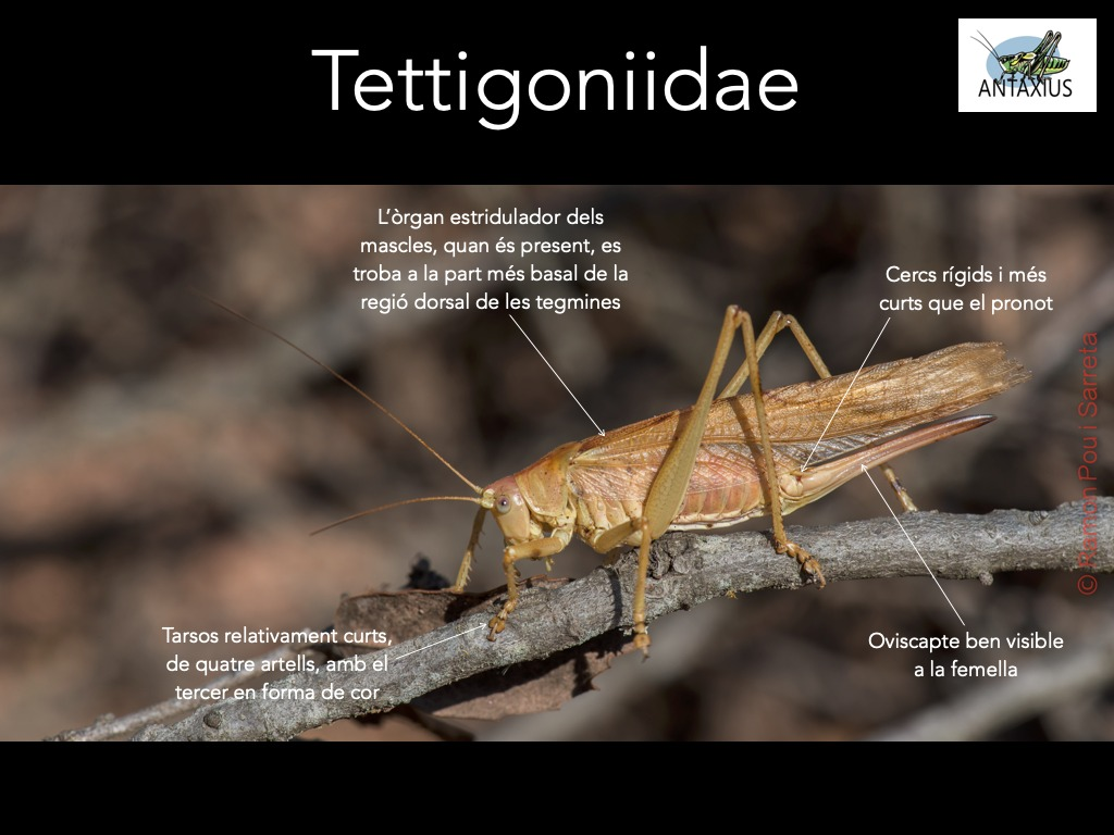 https://cdnfiles1.biolovision.net/www.ornitho.cat/userfiles/Ortopters/2Tettigoniidae.jpg