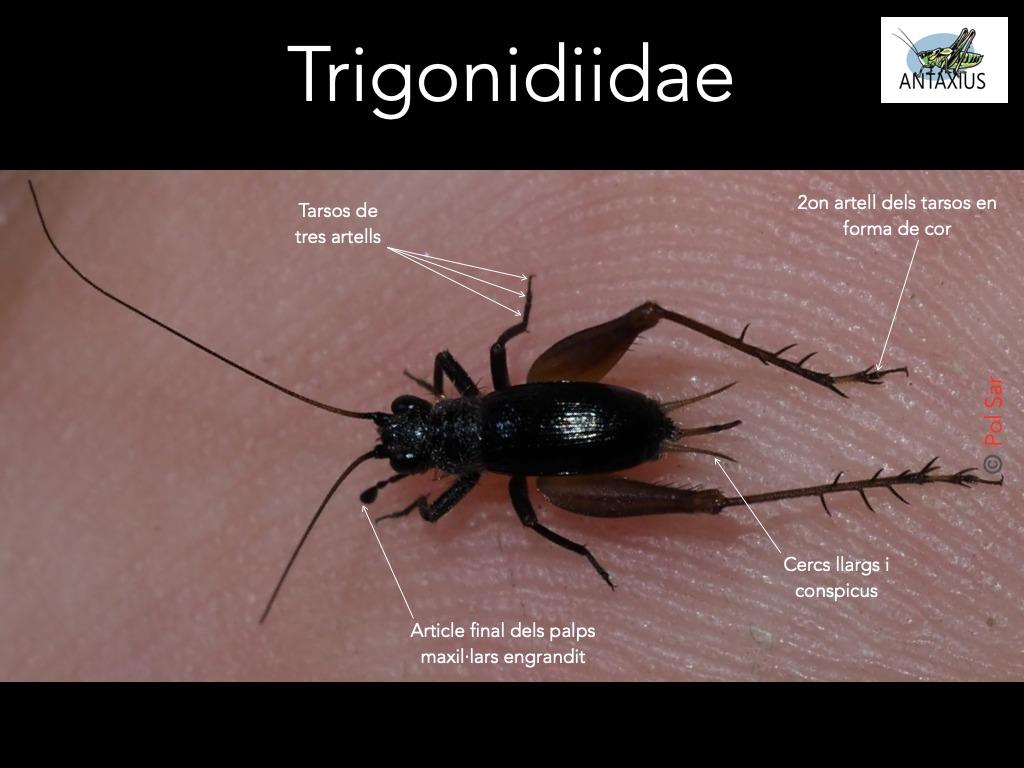 https://cdnfiles1.biolovision.net/www.ornitho.cat/userfiles/Ortopters/2Trigonidiidae.jpg