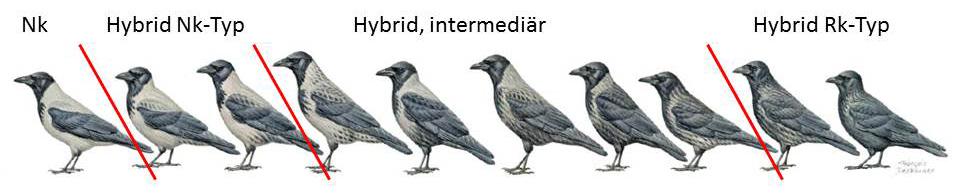 https://cdnfiles1.biolovision.net/www.ornitho.de/userfiles/infoblaetter/Anleitungen/Hybridkraehen-Duquet.jpg