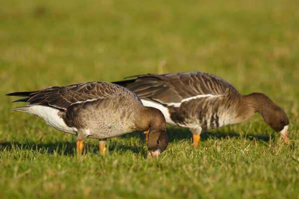 https://cdnfiles1.biolovision.net/www.ornitho.de/userfiles/infoblaetter/Anleitungen/Vogelmonitoring/GaenseSchwaene/D-NW-BlessgansjuvadHGlader.jpg