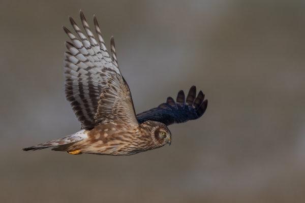 https://cdnfiles1.biolovision.net/www.ornitho.de/userfiles/infoblaetter/Anleitungen/Vogelmonitoring/GaenseSchwaene/KornweiheGZieger.jpg