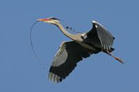 https://cdnfiles1.biolovision.net/www.ornitho.de/userfiles/infoblaetter/Anleitungen/Vogelmonitoring/MsB/Graureiher/Graureiher-Nistmaterial-JGerlach-200px.jpg