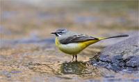 https://cdnfiles1.biolovision.net/www.ornitho.de/userfiles/infoblaetter/Anleitungen/Vogelmonitoring/WVZ/Gebirgsstelze-AHeiland.jpg