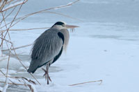 https://cdnfiles1.biolovision.net/www.ornitho.de/userfiles/infoblaetter/Anleitungen/Vogelmonitoring/WVZ/Graureiher-KGauger.jpg